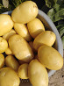 Молодой картофель сорта «Мелодия» из Пакистана