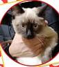 Сиамский котик ищет дом